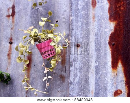 Foliage Plant In Pots Hang On Rustic Background