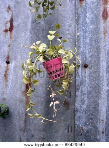 Foliage Plant In Pots On Rustic Background