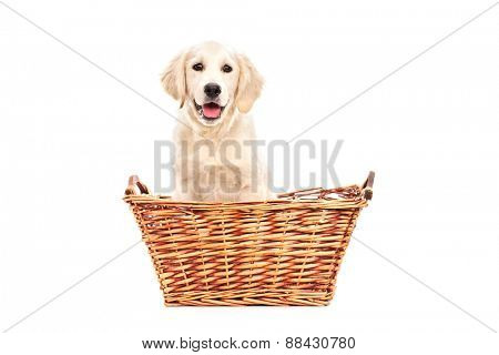 Cute little Labrador puppy sitting in a basket and looking at the camera isolated on white background