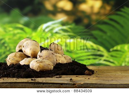 natural organic fresh potatoes on a wooden table