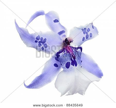 light orchid flower with blue spots isolated on white background