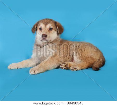 Yellow Puppy Lying On Blue
