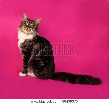 Longhaired Tabby And White Cat Sitting On Pink