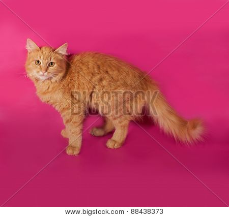 Red Fluffy kitten Standing On Pink