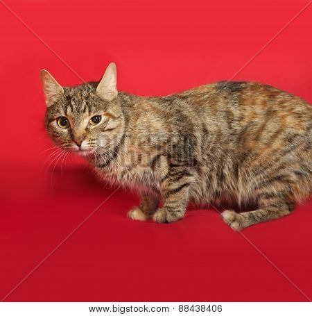 Tricolor Striped Cat Sitting On Red