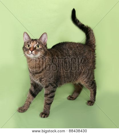 Tabby Cat Standing On Green