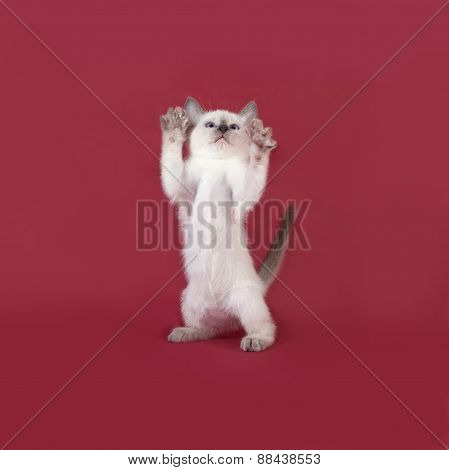 Thai White Kitten Standing On Red