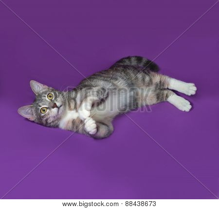 Tricolor Striped Cat Lies On Lilac