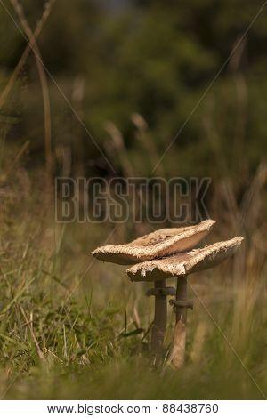 Lepiota Macrolepiota procera, parasol mushroom in the grass