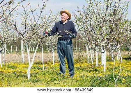 Elderly man in flowered cherry orchard