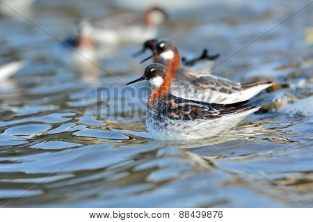 Red-necked Phalarope Bird