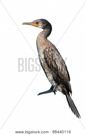 Indian Cormorant Bird