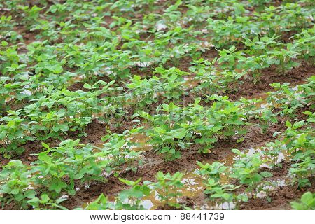 soybean plants in growth at field