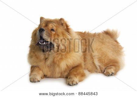 Chow-chow Dog