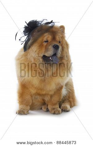Chow-chow Dog With Black Hat