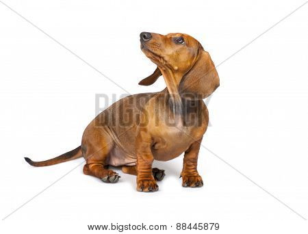 Dachshund Dog Isolated On White Background
