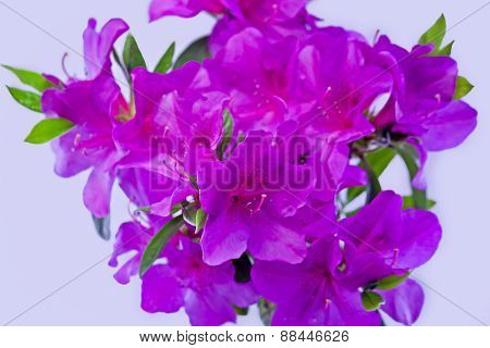 red azaleas in the blank background picture