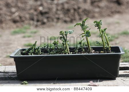 Box Of Potato Seedlings