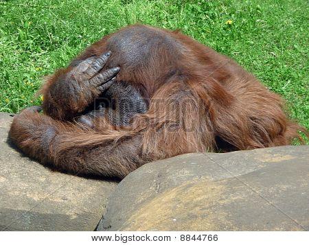 Thinking Orangutan