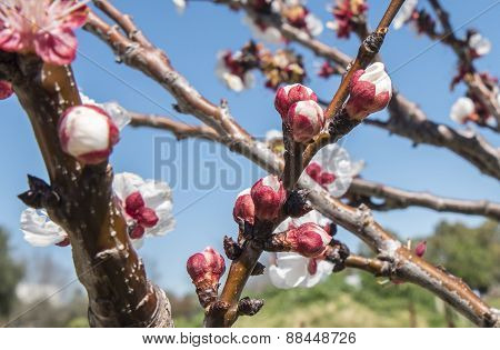 Apricot Flower Buds