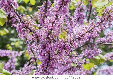 Judas Tree Flower (cercis Siliquastrum)