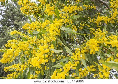Acacia Dealbata Flower (silver Wattle, Blue Wattle Or Mimosa)