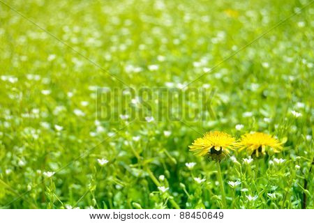 Close-up Image of Two Dandelion Flowers on the Spring Meadow with Green Grass and White Flowers