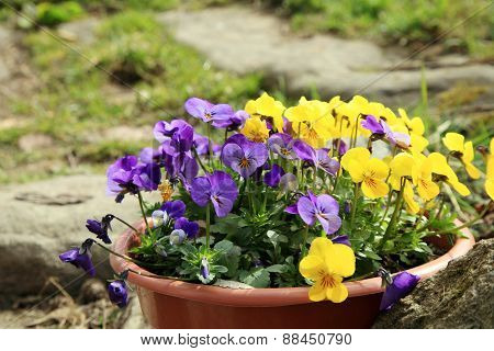 Flowering pansies