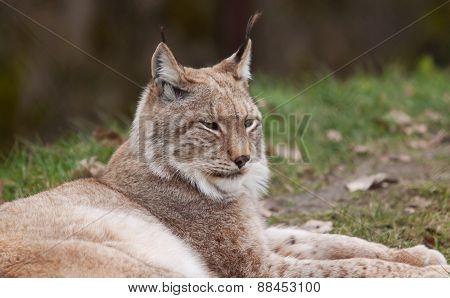 Restful Lynx