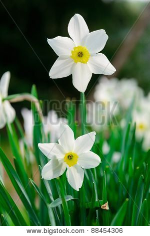 Beautiful White And Yellow Daffodils. Yellow And White Narcissuses In A Garden. Soft Focus Or Shallo