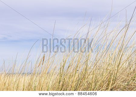 Dune Grass On The Baltic Sea