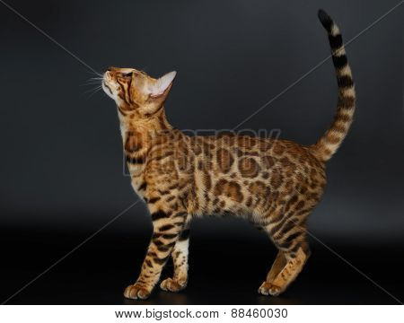Side View Bengal Cat Looking up