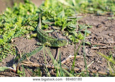 Lizard on earth