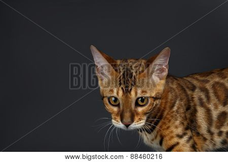 Closeup female Bengal Cat