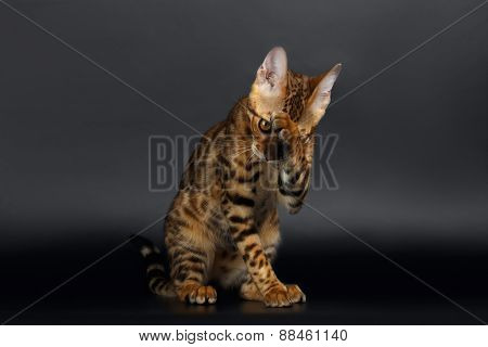 Closeup Bengal Cat Washes