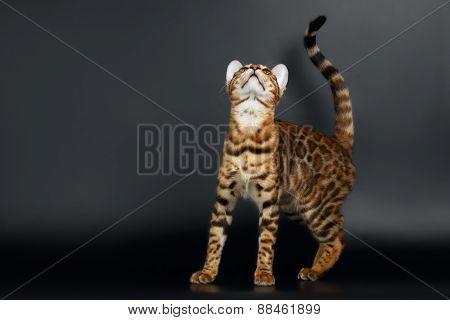 Closeup Playful Female Bengal Cat Looking up