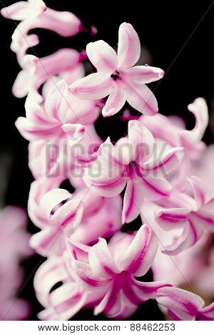 Pink Hyacinth Flower In Spring Garden