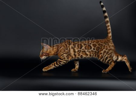 Playful Female Bengal Cat