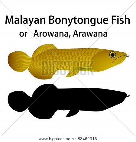 Malayan Bonytongue fish