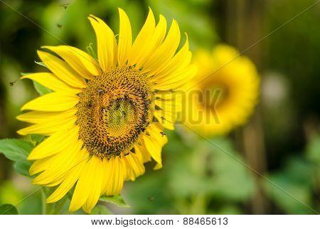 Sun Flower.