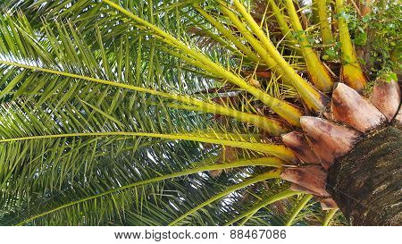 Branches Of Big Palm Tree