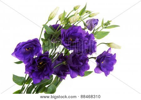 Wild violet flowers close up