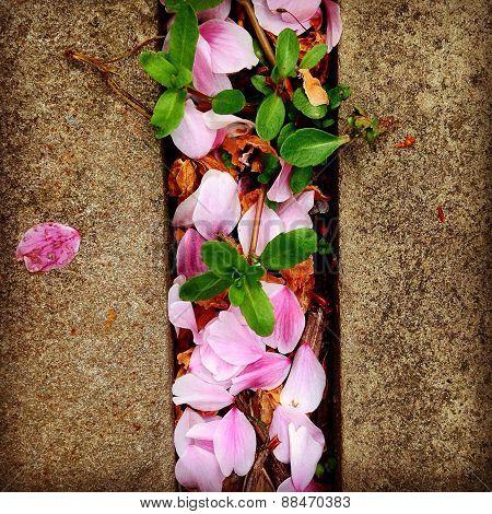 fallen cherry petals