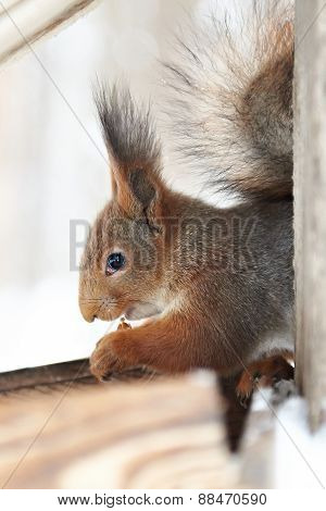 Squirrel Nibbles Nut