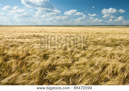 wheat field and blue sky summer landscape