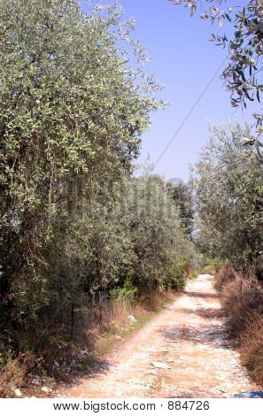 Path In Olive Trees 2