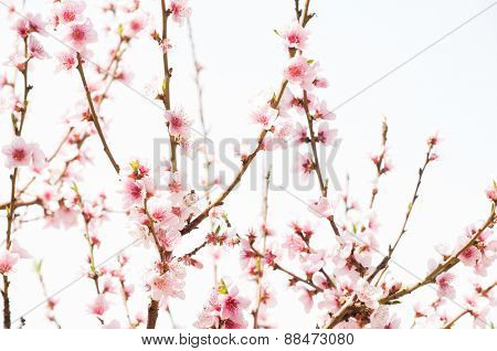 Flowering branches of apricot