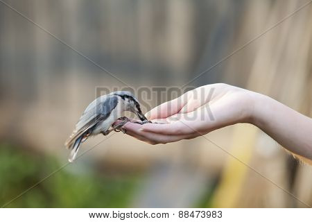 The birdie pecks sunflower seeds from a hand palm