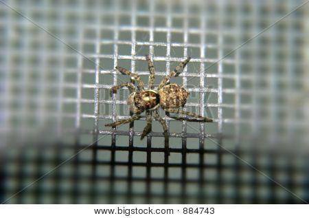 Brown Spider