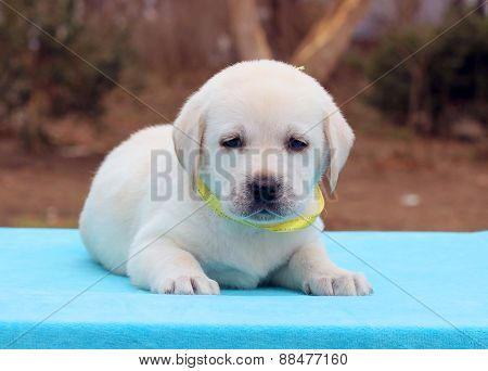 Labrador Puppy On A Blue Background